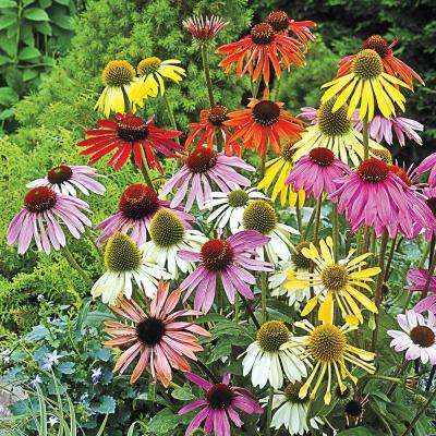 Coneflower Mixture (Echinacea), Live Bareroot Plant, Multiple Colored Perennial (5-Pack)