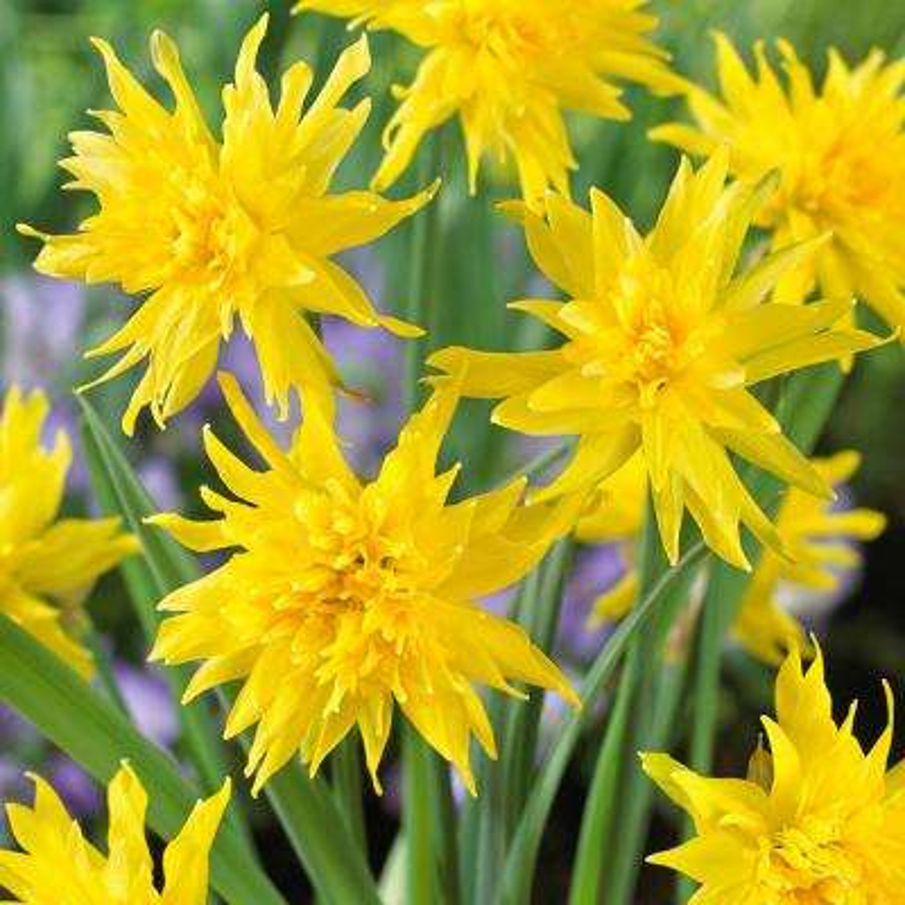 Yellow flower bulbs garden plants flowers the home depot daffodils bulbs mightylinksfo