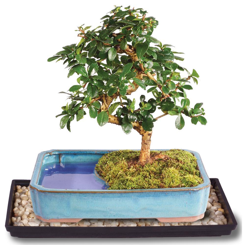 Brussel S Bonsai Fukien Tea Bonsai In Land Water Pot Ct0218ftwp The Home Depot