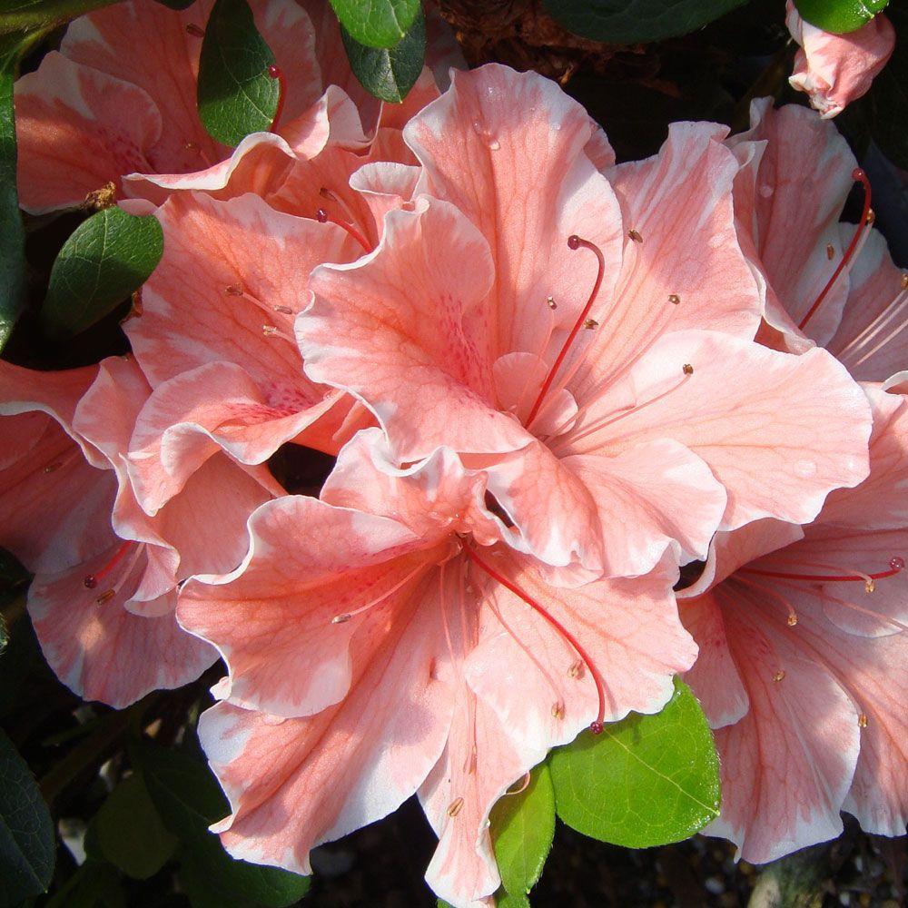 2 Gal. Autumn Sunburst Encore Azalea Shrub with Bicolor Coral Pink and White Reblooming Flowers