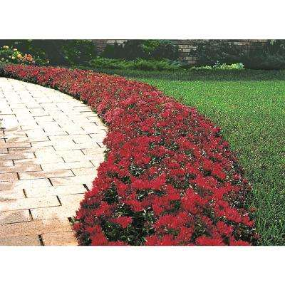 2 in. Pot Red Creeping Sedum Live Perennial Plant Groundcover with Red Flowers with Bronze/Red Foliage