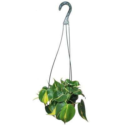 Philodendron Brasil Plant in 6 in. Hanging Basket