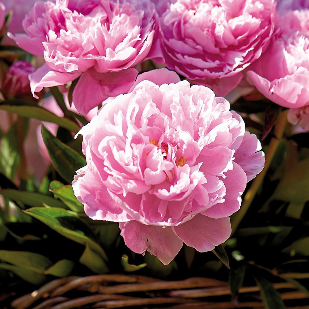 Van Zyverden Peonies Sarah Bernhardt Roots Set Of 3