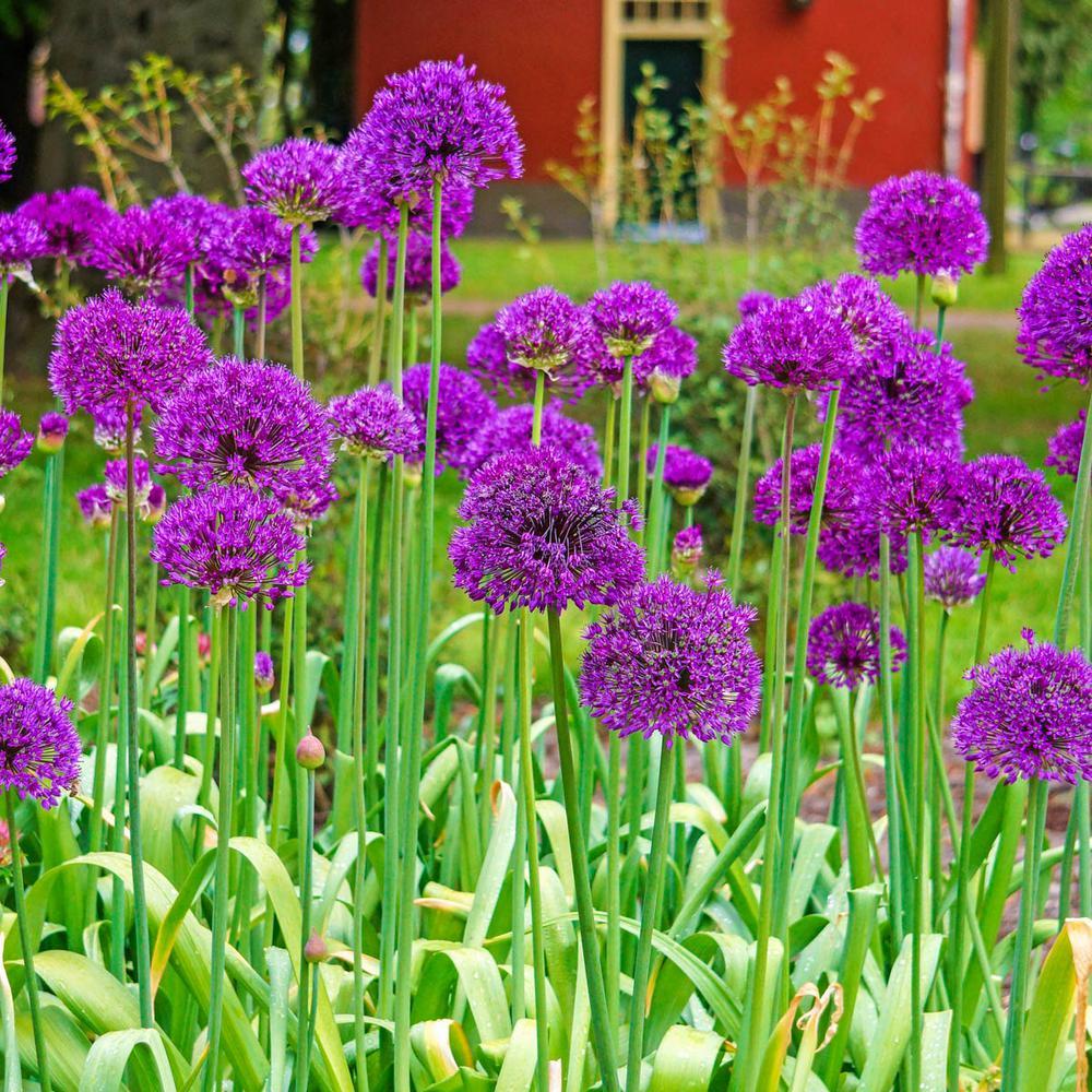 Spring Hill Nurseries Purple Sensation Allium Bulbs 5 Pack