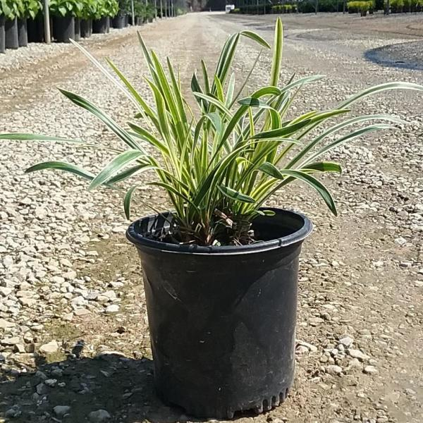 Unbranded 2 5 Qt Variegated Liriope Live Groundcover Grass 4009q The Home Depot