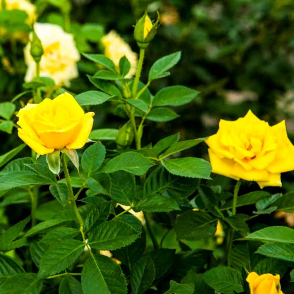 Radiant Perfume Grandiflora Rose, Live Bareroot Plant, Yellow Color Flowers (1-Pack)