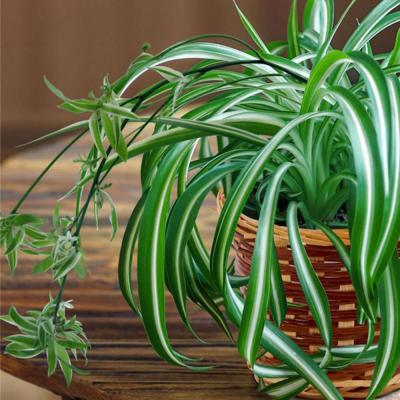 4 in. Spider Plant Chlorophytum Plant in Grower Pot (4-Piece)
