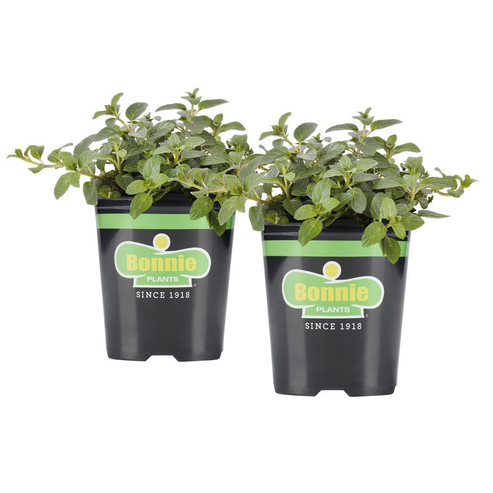 19.3 oz. Peppermint (2-Pack Live Plants)