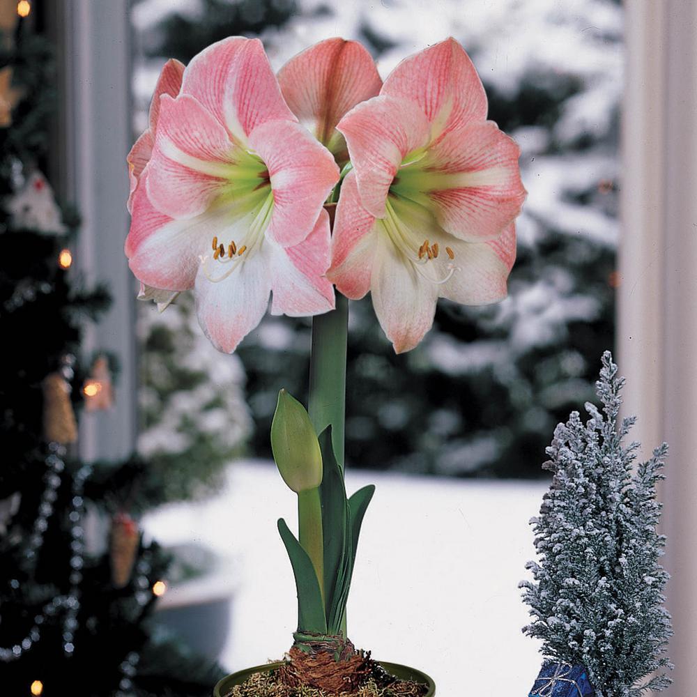 Apple Blossom Galaxy Amaryllis (Hippeastrum) Bulb (1-Pack)