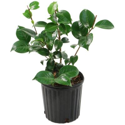 2.5 Qt. Camellia Japonica Plant with White Blooms