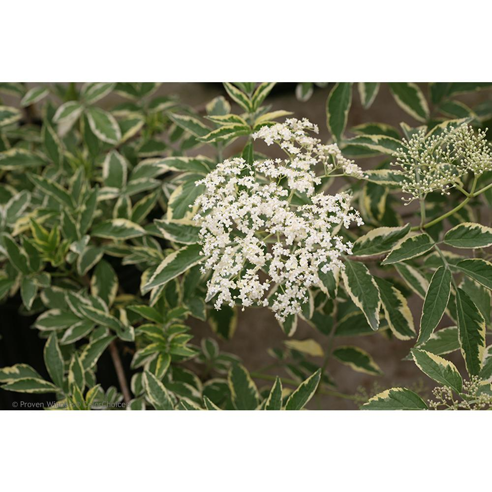 Proven Winners 4.5 in. qt. Instant Karma Elderberry (Sambucus) Live Shrub, White Flower and Green and White Foliage