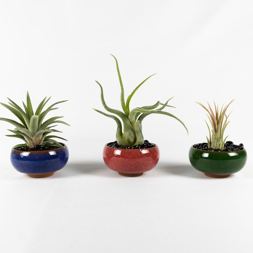 Air Plant Succulent Live (3 Tillandsias) - Color Ceramic Pot Set-1 (Blue, Red, Green) with Black Stones