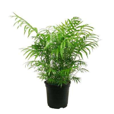 Neanthebella Palm in 6 in. Grower Pot