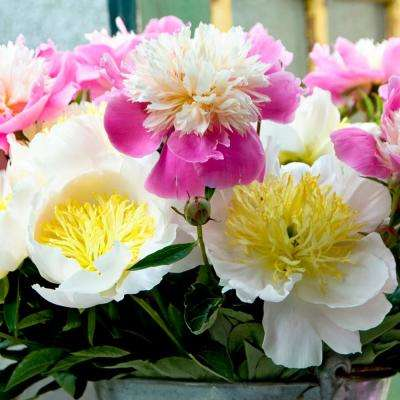 Peonies Bulbs White and Pink Blend (Set of 5 Roots)