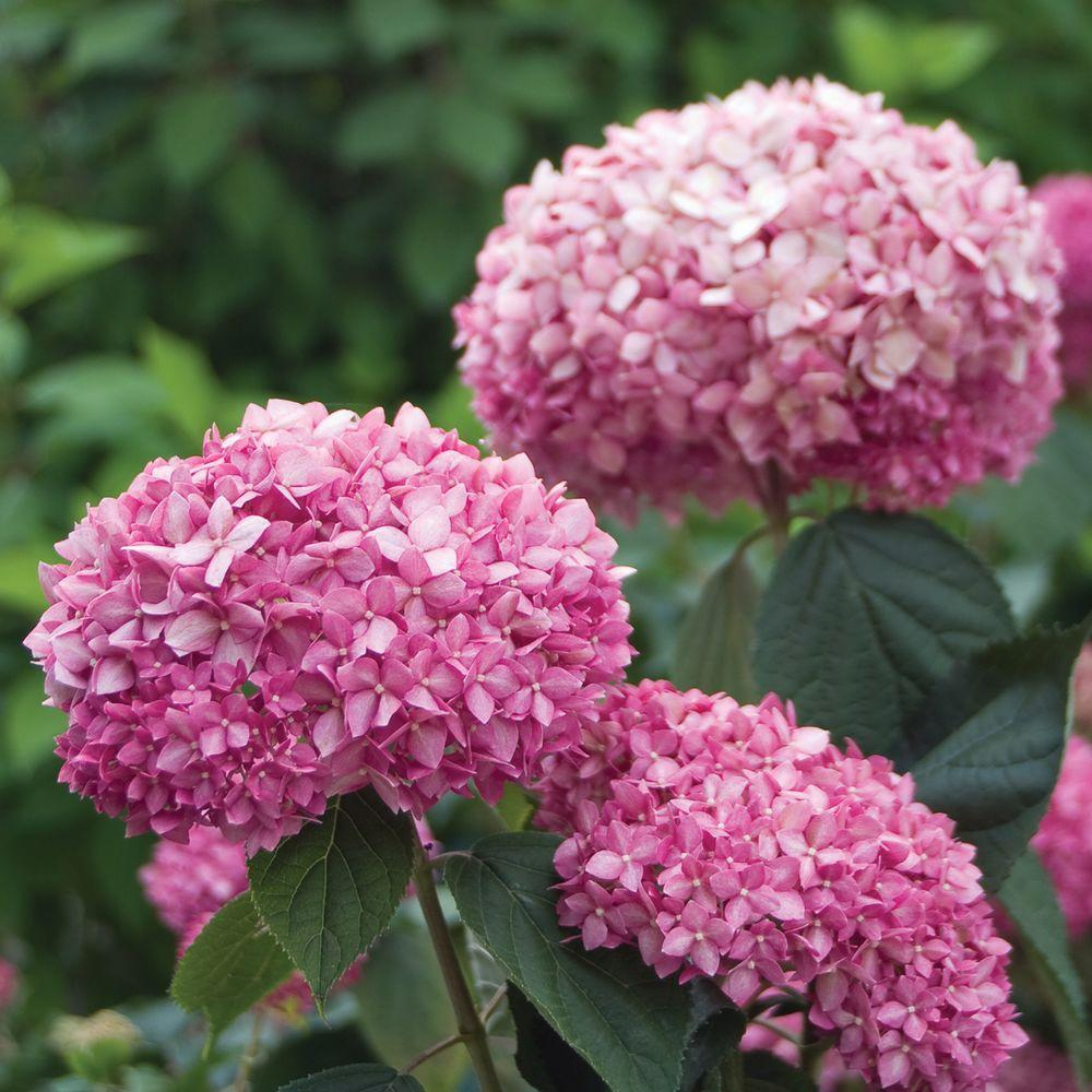 Proven Winners Invincible Spirit ColorChoice Hydrangea 4.5 in. Quart