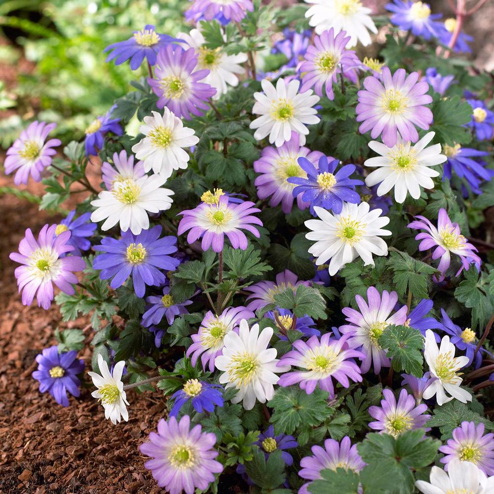 Anemone Blanda Assorted Bulbs (25-Pack)