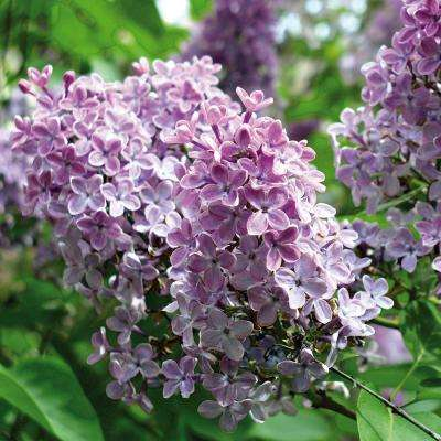Lilac Purple Root Stock (1-Set)