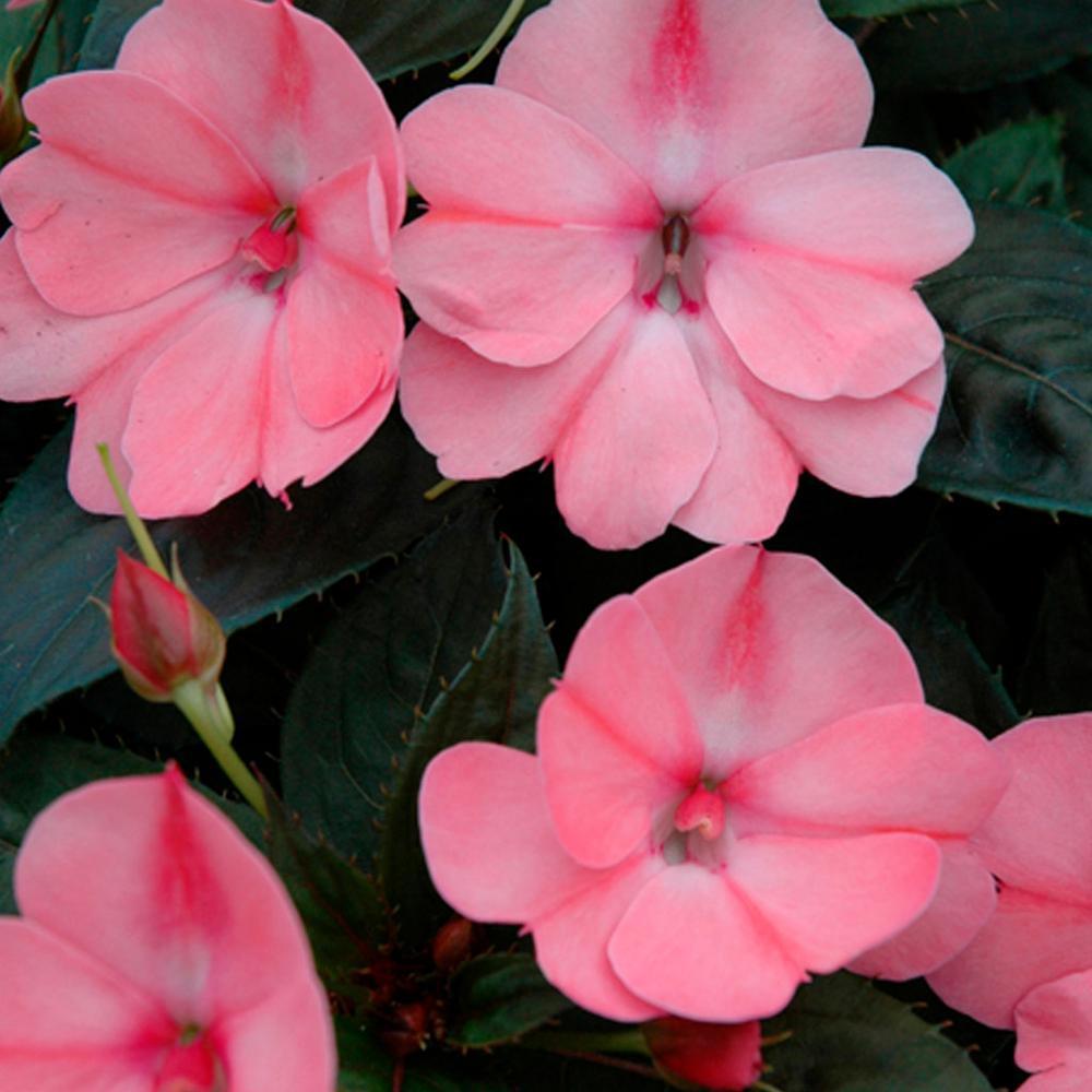 1 Qt. Sunpatien Impatien Plant Pink Flowers in 4.7 In. Grower's Pot (4-Plants)