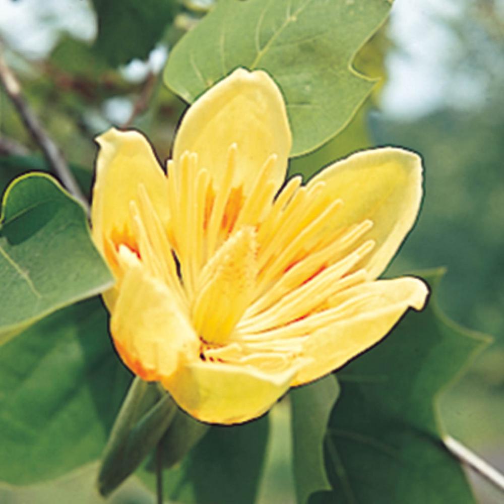 Green Foliage Tulip Poplar Tree (Liriodendron) LIve Bareroot Shade Tree