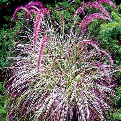 2 in. Pot Cherry Sparkle Purple Fountain Grass (Pennisetum), Live Deciduous Plant, Perennial Grass (1-Pack)