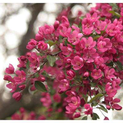 Prairie Fire Flowering Crabapple Tree Bare Root