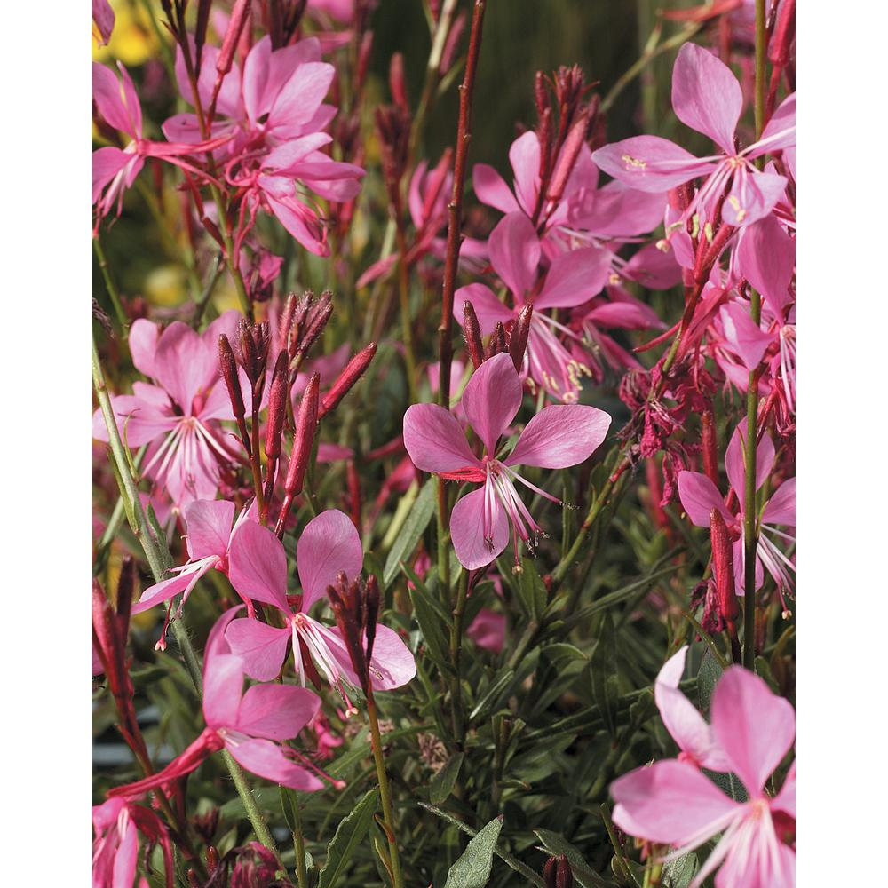 Gaura annuals garden plants flowers the home depot karalee petite pink butterfly flower gaura live plant pink flowers 425 in mightylinksfo