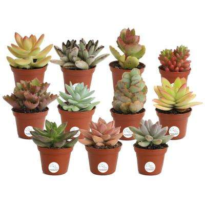 2 in. Mini Unique Succulents in Round Grower Pot (11-Pack)