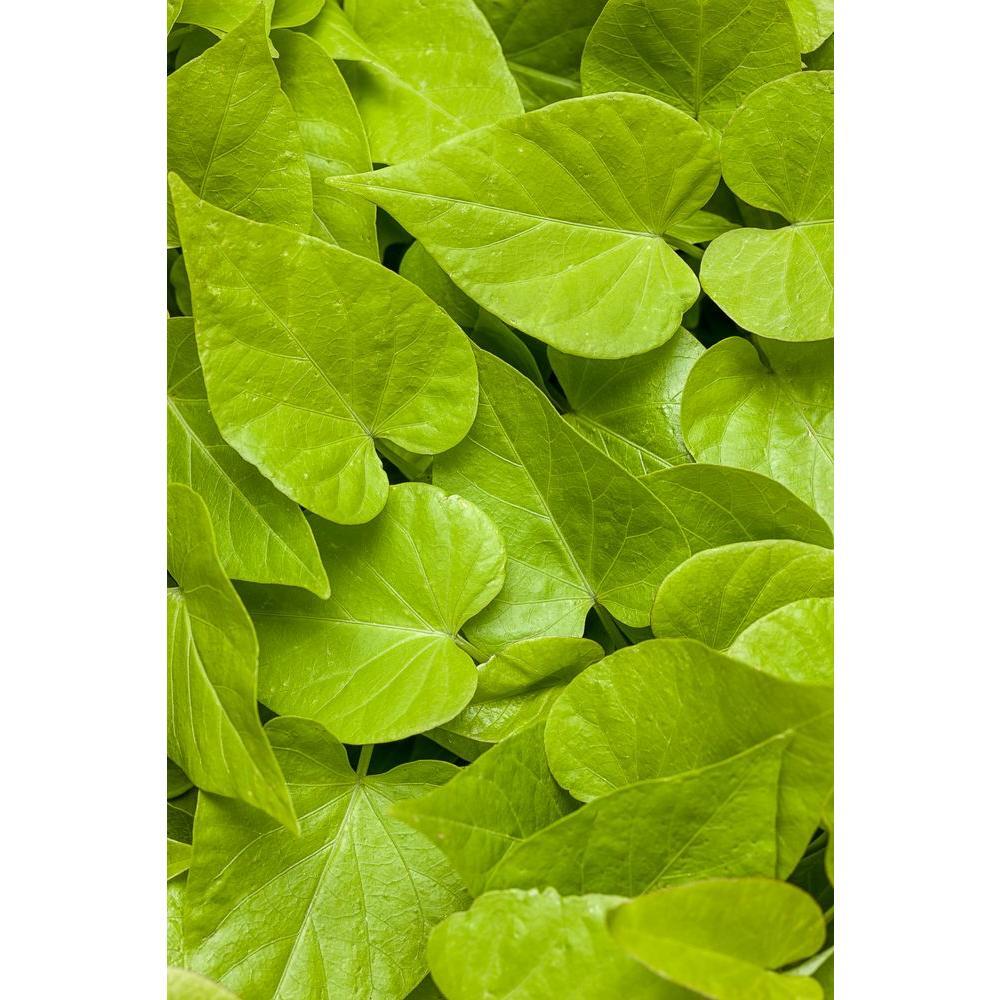 4-Pack, 4.25 in. Grande Sweet Caroline Sweetheart Lime Sweet Potato Vine (Ipomoea) Live Plant, Lime Green Foliage