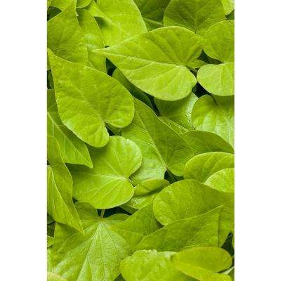 Sweet Caroline Sweetheart Lime Sweet Potato Vine (Ipomoea) Live Plant, Lime Green Foliage, 4.25 in. Grande, (4-Pack)