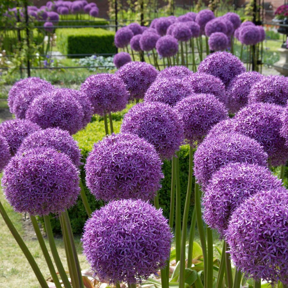 Allium Globemaster Bulbs