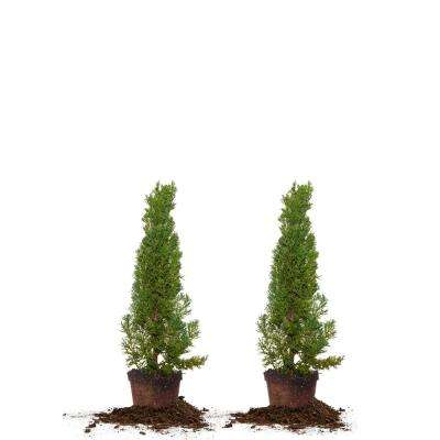 1 ft.- 2 ft. Italian Cypress (2-Pack)