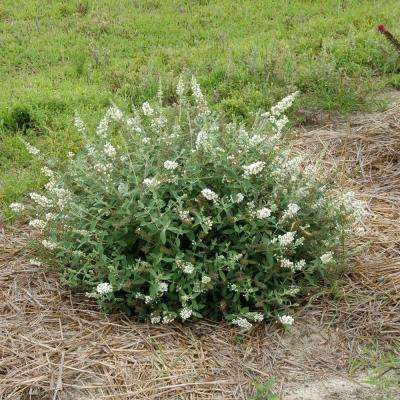 3 Gal. Lo and behold 'Ice Chip' Butterfly Bush (Buddleia) Live Shrub, White Flowers