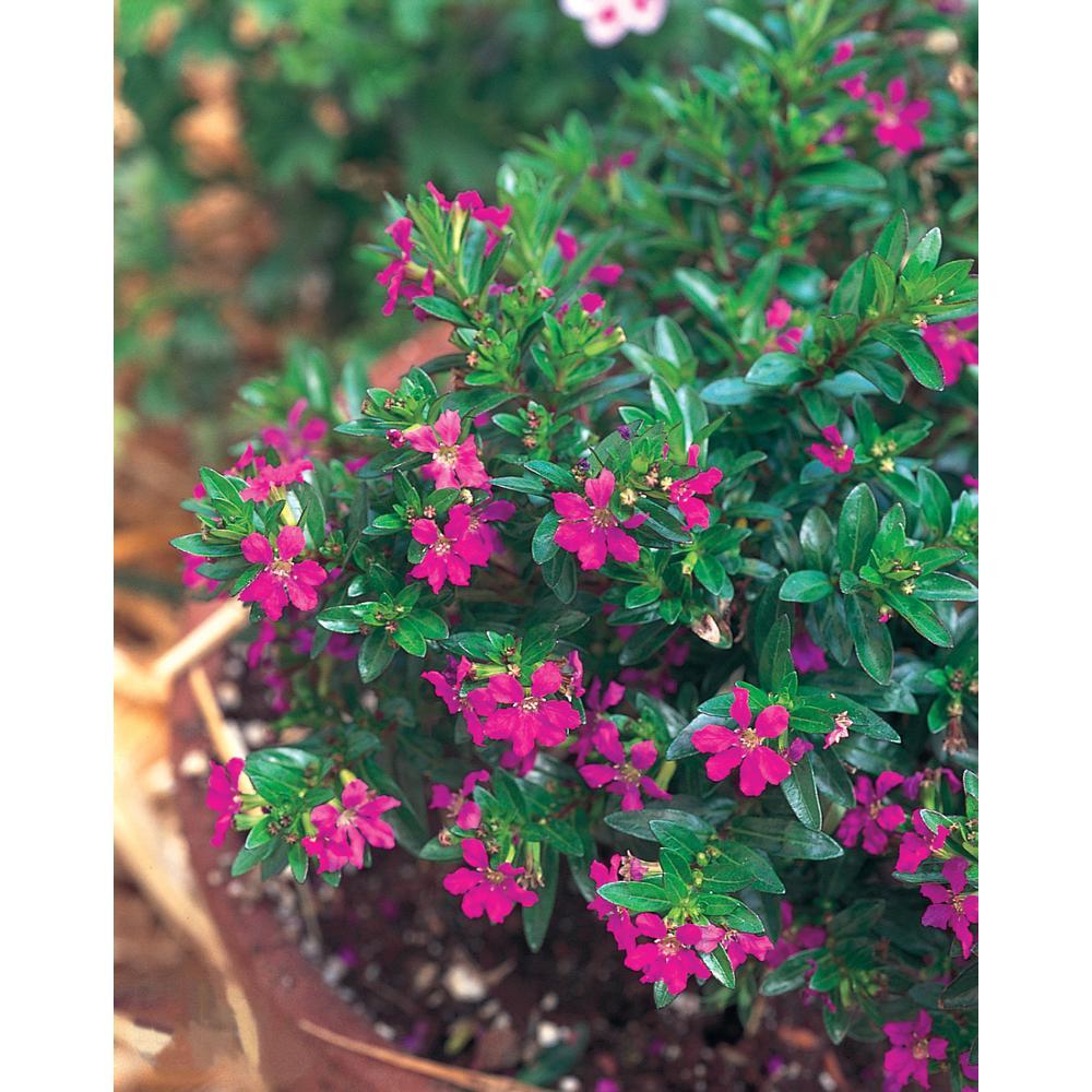 1 Qt. Purple Cuphea Plant in Grower Pot (4-Pack)