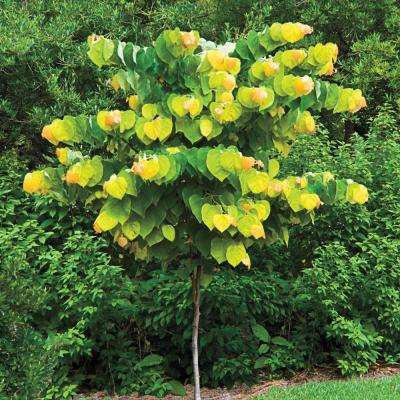 The Rising Sun (Cercis) Live Bareroot Ornamental Tree Pink Flowers (1-Pack)
