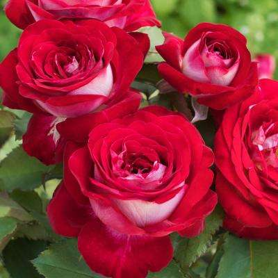 2 in. Pot Love at First Sight Hybrid Tea Rose, Red Color Flowers Live Potted Plant (1-Pack)
