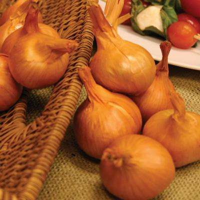 Shallots in Dutch Yellow (Set of 12)
