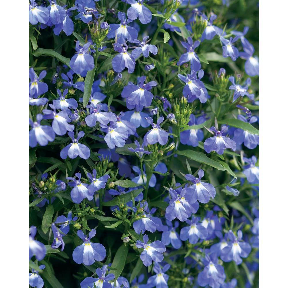 Lobelia Full Sun Annuals Garden Plants Flowers The Home Depot