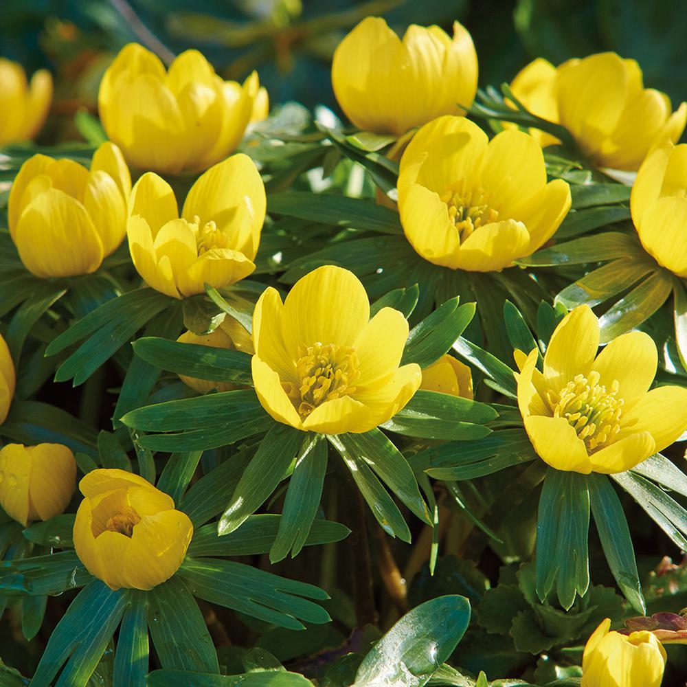Yellow fall flower bulbs garden plants flowers the home depot eranthis bulbs winter aconite set of 50 mightylinksfo