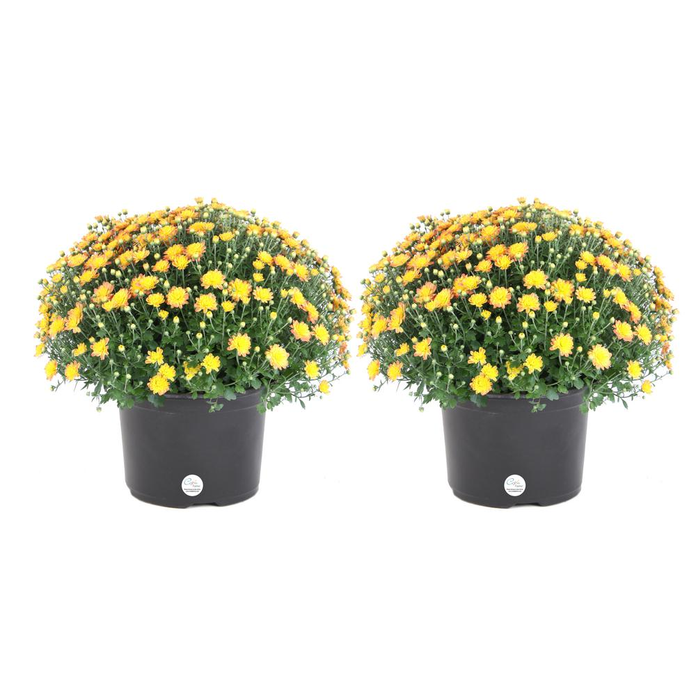 COSTAFARMS Costa Farms 3 Qt. Yellow Ready to Bloom Fall Mums Chrysanthemum (2-Pack)