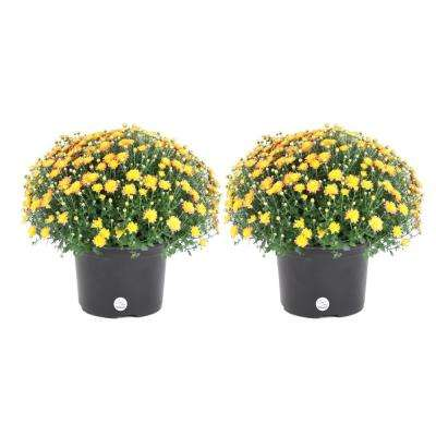 3 Qt. Yellow Ready to Bloom Fall Mums Chrysanthemum (2-Pack)
