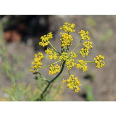 4.25 in. Grande Proven Selections Hedger Dill, Live Plant, Herb (Pack of 4)