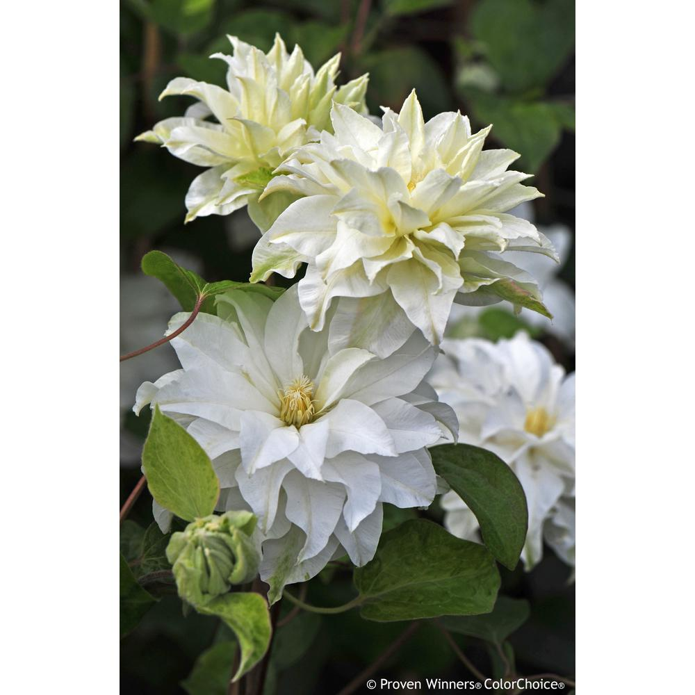 Proven Winners 1 Gal Madame Maria Clematis Live Shrub White