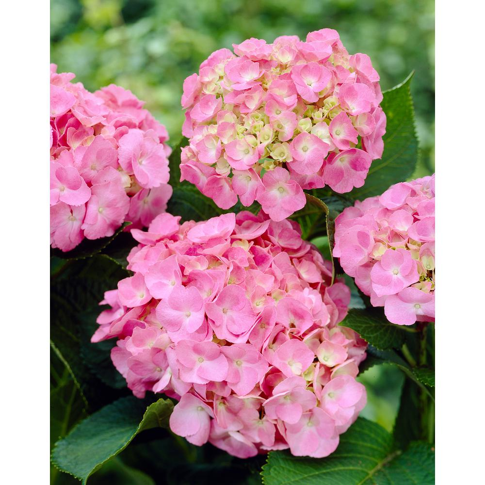 Spring Hill Nurseries 1.00 Gal. Pot, Forever and Ever Early Sensation Hydrangea, Live Deciduous Plant, Pink or Blue Flowering Shrub (1-Pack)
