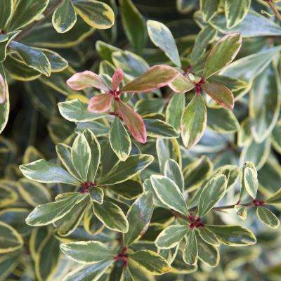 2 Gal. Juliet Variegated Cleyera Shrub with Olive Green and Cream White Leaves