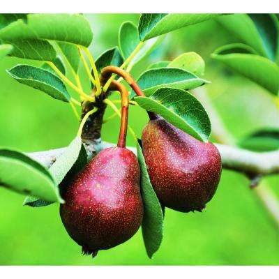 Dwarf Seckel Sugar Pear Tree - Perfectly Snack-Sized Tiny Sweet Pears (Bare-Root, 3 ft. to 4 ft. Tall, 2-Years Old)