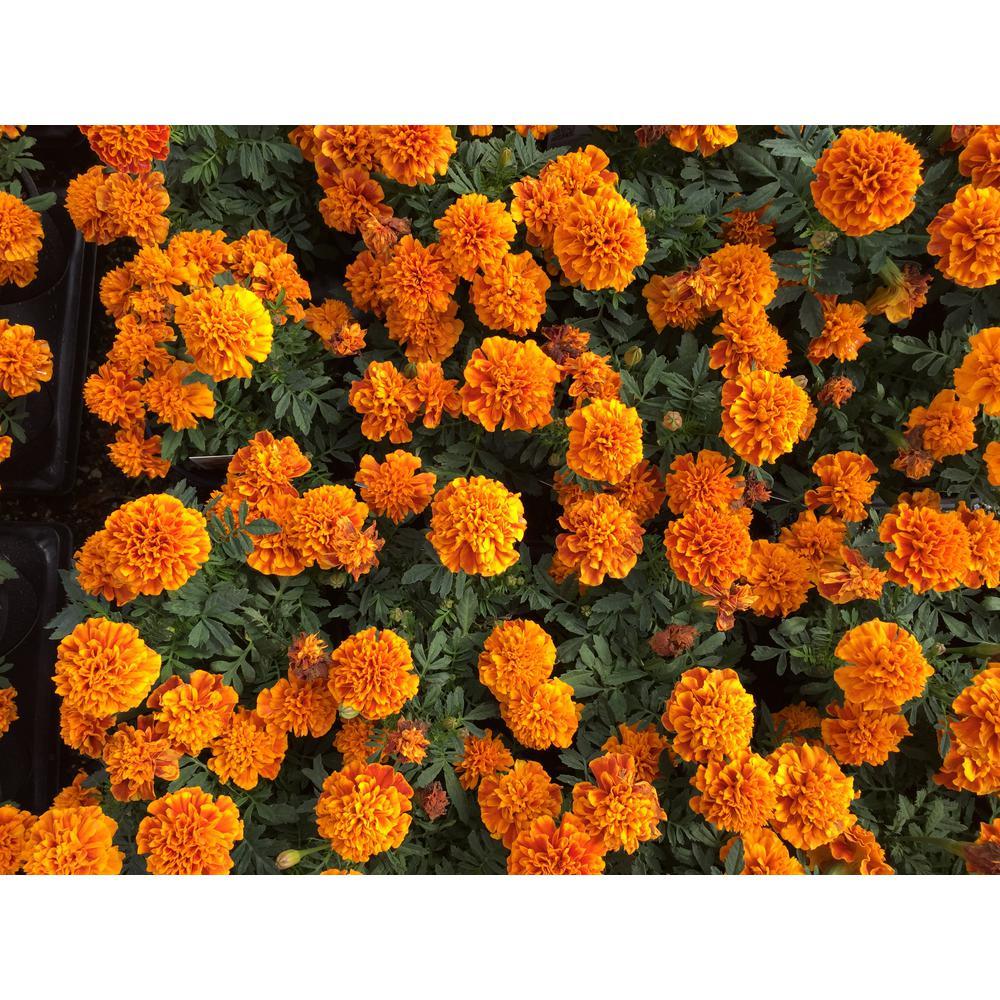 1 Pt. Orange Marigold Plant in Grower's Pot (6-Pack)