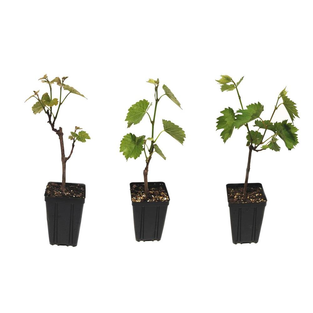 Sweet Berry Selections Wine Grape Fruit Bearing Potted 3 Plant Variety Pack