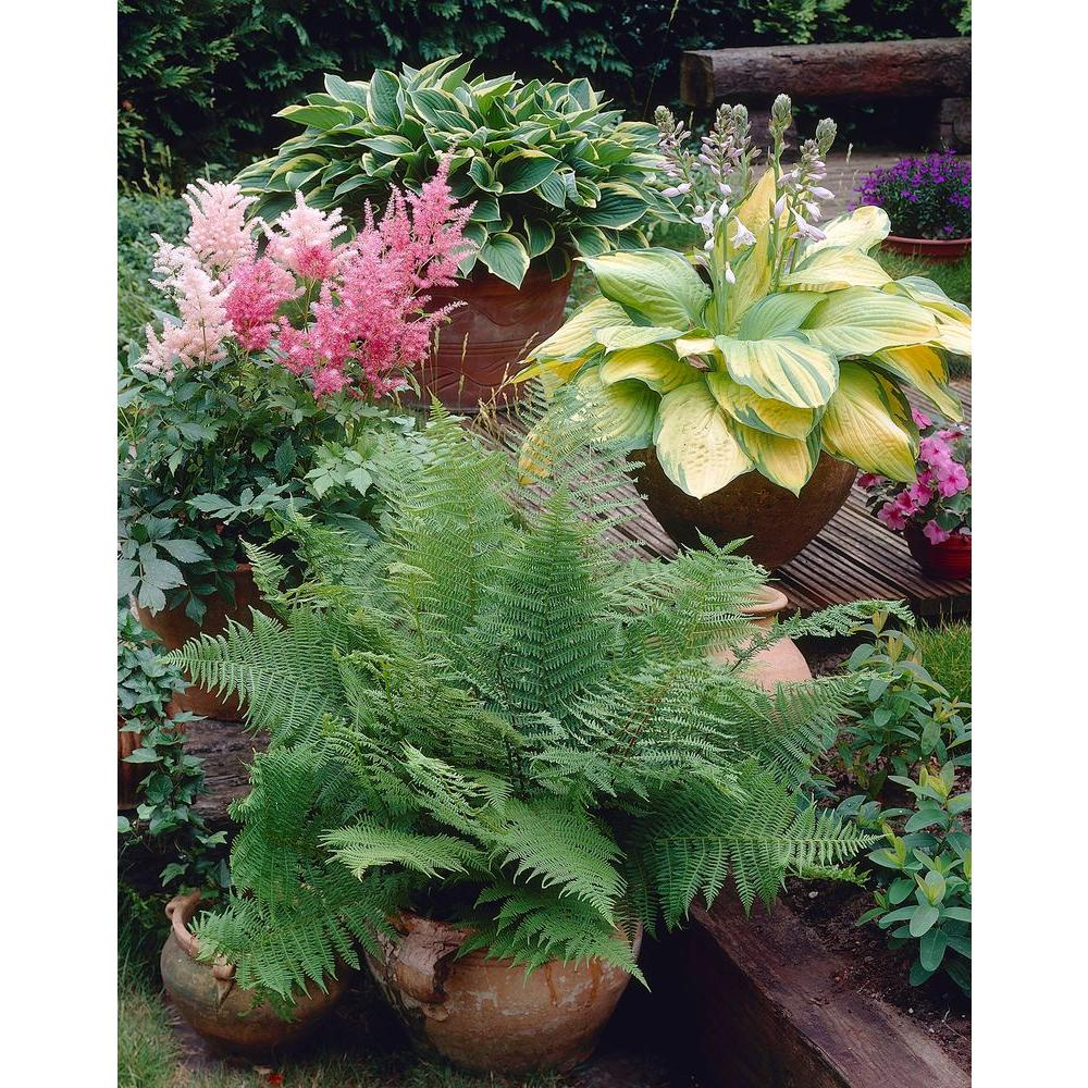 Bloomsz Great Shade Patio Perennial Collection Roots (3-Pack)