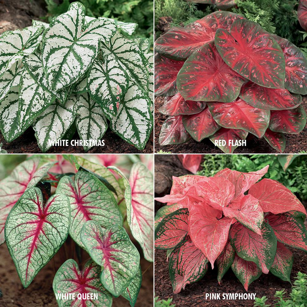 Van Zyverden Caladium Collection 4 Variety Bulbs 24 Pack 83022