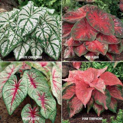 Caladium Collection 4-Variety Bulbs (24-Pack)